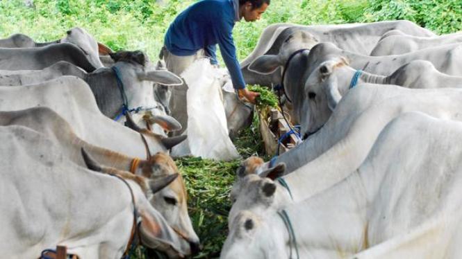 Harga hewan kurban diperkirakan naik 20 persen.