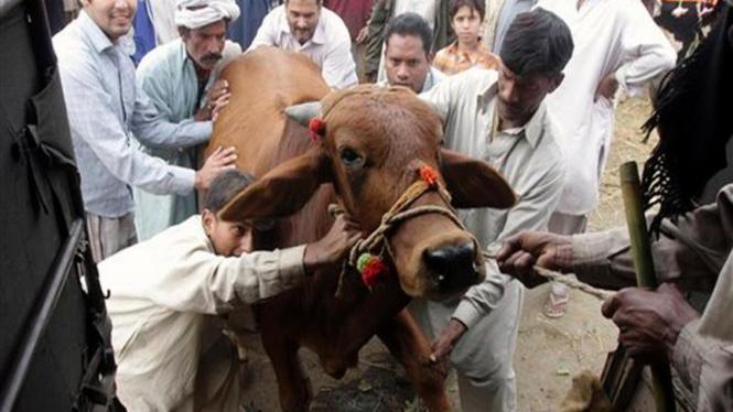 Seekor sapi saat dibawa ke pasar hewan di Lahore, Pakistan