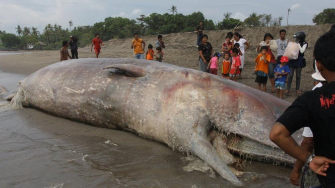 Ikan Paus terdampar di Bali