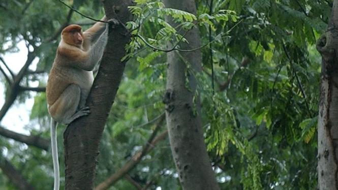 Bekantan (Nasalis Larvatus) asal Kalimantan di Kebun Binatang Surabaya (KBS)
