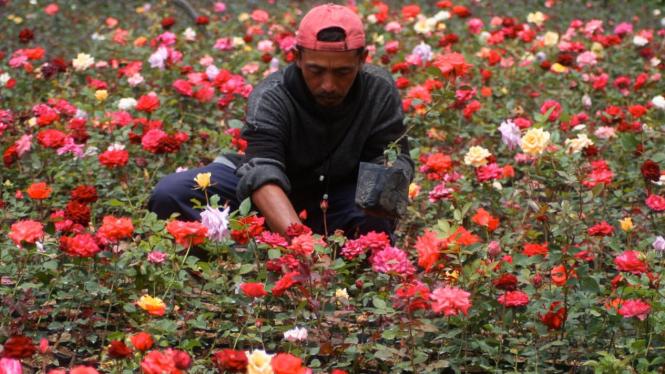 Pertanian bunga mawar di desa Sidomulyo, Batu, Jawa Timur
