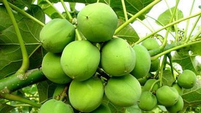 Jarak pagar (jatropha curcas), tanaman yang digunakan untuk biofuel.