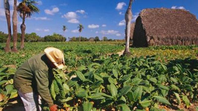 Ladang tembakau