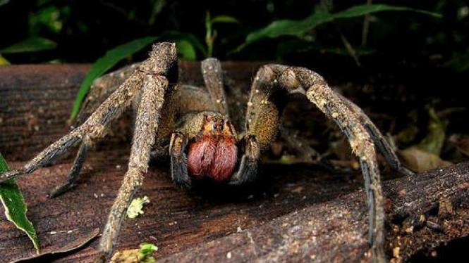 Laba-laba beracun