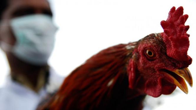 Pemusnahan Wabah Flu Burung