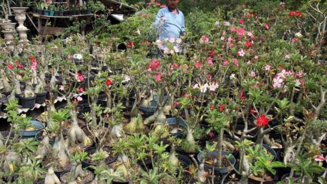 Bunga Adenium di Desa Randuagung, Gresik