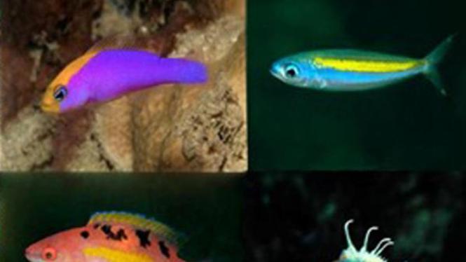 Ikan dari Raja Ampat
