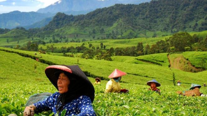 Perkebunan teh PTPN VIII Ciater, Subang, Jawa Barat