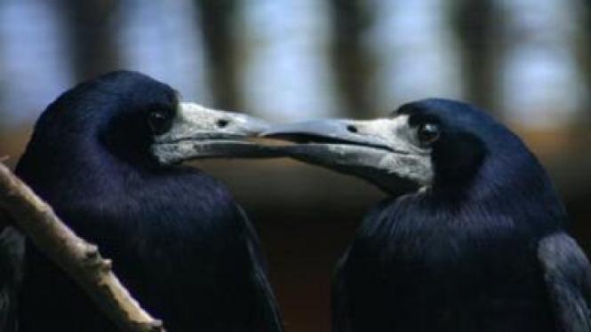 Burung Gagak