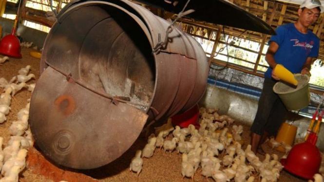 Peternakan ayam potong di Bogor