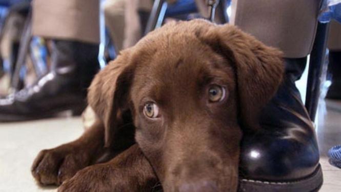 Anjing labrador coklat