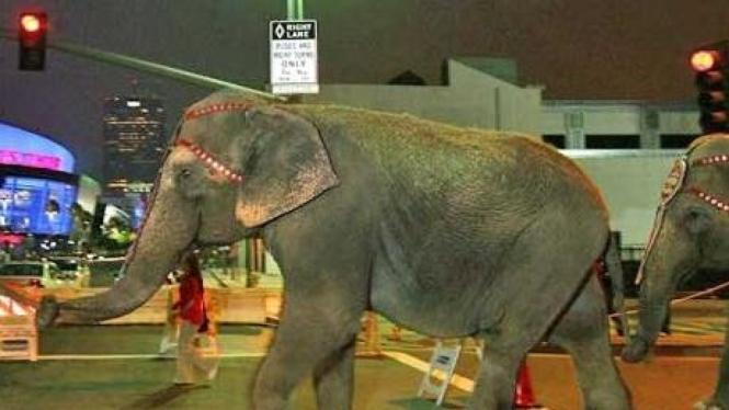Gajah Sirkus 'The Ringling Bros Barnum And Bailey'