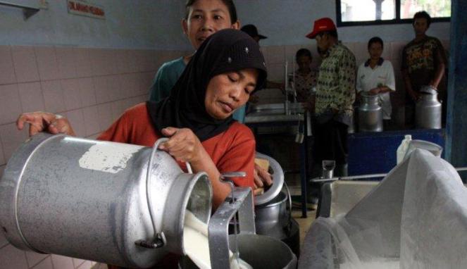 Menyaring susu sapi murni di Malang
