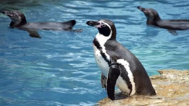 Penguin di Taman Safari Indonesia, Bogor