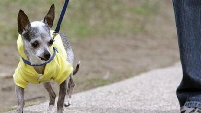 Seekor anjing ras chihuahua di AS berjalan bersama dengan pemiliknya