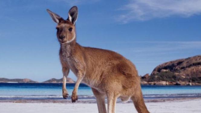 Kanguru Australia