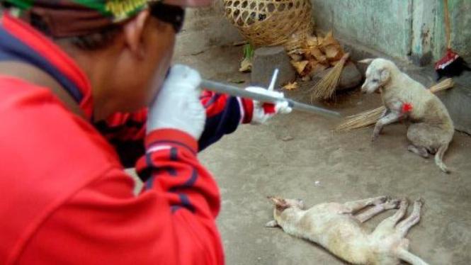 wabah rabies, anjing liar ditembak dengan sumpit untuk dimusnahkan