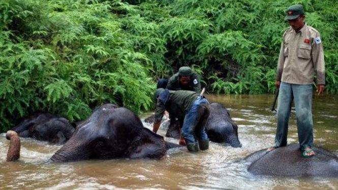 Gajah Sumatera di Taman Nasional Tesso Nilo, Riau