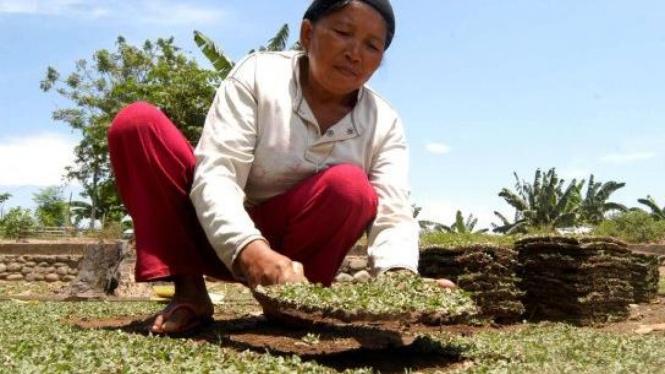 Memanen rumput gajah mini di Sulawesi Selatan