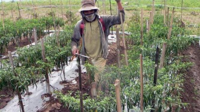 Menyemprot fungisida pada tanaman cabai