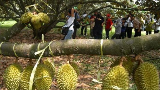 pengunjung amati buah durian lokal di taman wisata Mekarsari, Cileungsi, Bogor