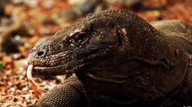 Komodo (Varanus Komodoensis)