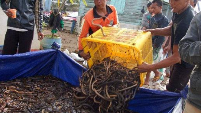Pengumpul belut di Palembang