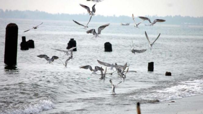 burung Camar Laut mengambil ikan