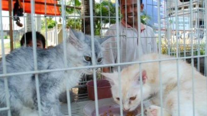 Kucing Angora dijual