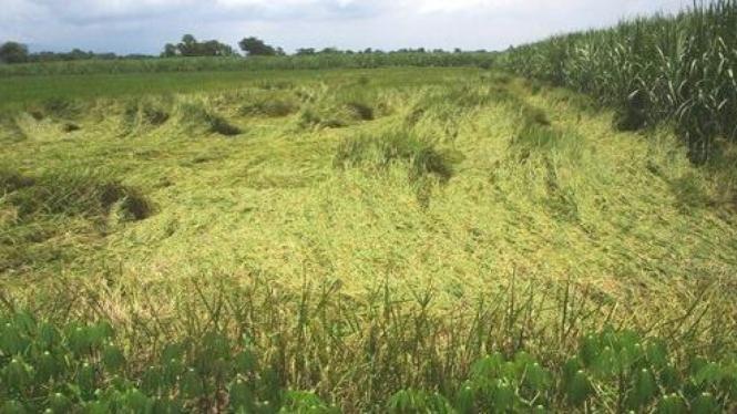 Hamparan padi yang sudah menguning terlihat rata dengan tanah