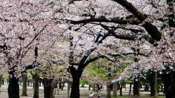 Seorang anak bermain sepeda di bawah bunga sakura yang sedang mekar.