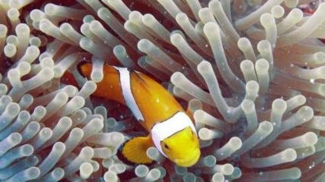 ikan Amphiprion di antara anemon perairan Pulau Hoga, Wakatobi, Sulawesi