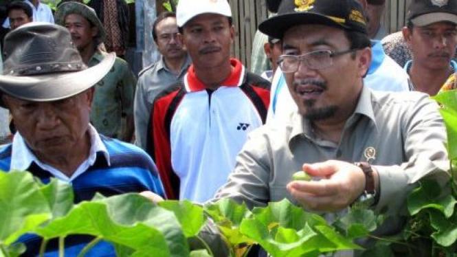 Menteri Pertanian Suswono memanen buah jarak untuk biofuel