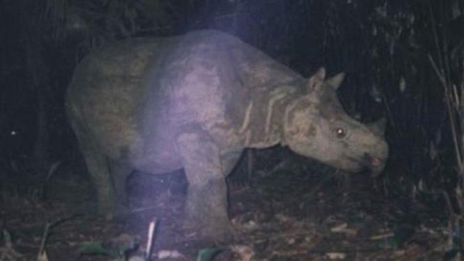 badak jawa (rhinoceros sondaicus) di Taman Nasional Ujung Kulon