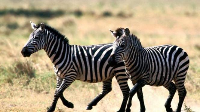 Zebra, hewan asal Afrika