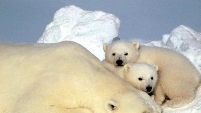 Beruang kutub beserta kedua anaknya