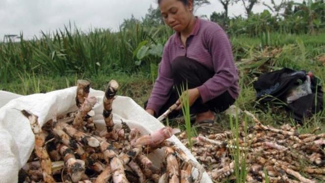 Dinglo, bahan campuran pembuatan jamu tradisional