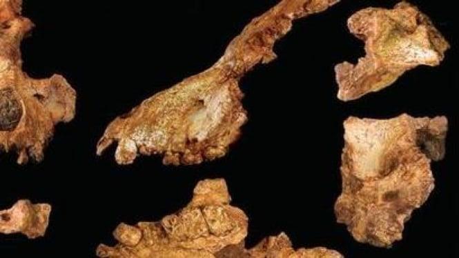 Fosil Saadanius hijazensis