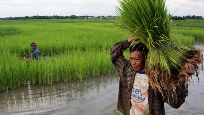 Petani mengangkat bibit padi yang akan ditanam.