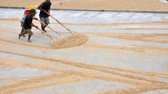 Sejumlah pekerja melakukan proses pengeringan gabah hasil panen padi.