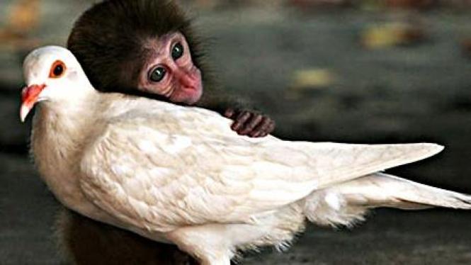 Monyet sayang burung dara
