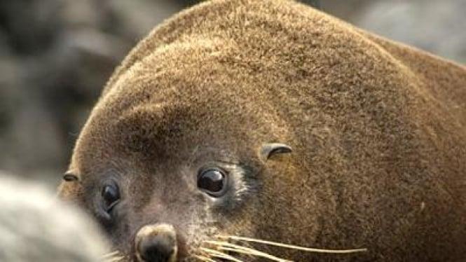 Anjing laut Selandia Baru