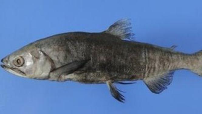 Ikan Salmon Jepang