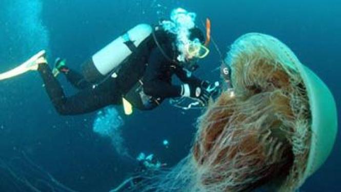 Ubur-ubur memiliki tentakel yang beracun dan dapat mematikan