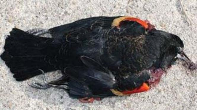 Burung hitam mati di Arkansas, Amerika Serikat