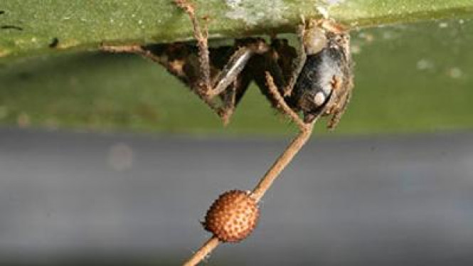 Semut kayu (Camponotus leonardi)