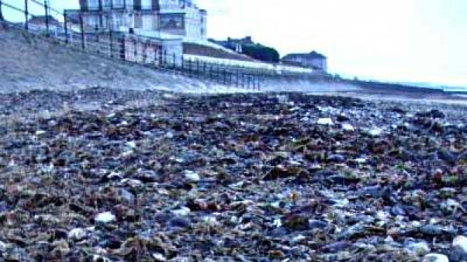 Puluhan ribu Kepiting mati di pantai Inggris