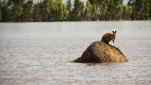 https://thumb.viva.co.id/media/frontend/thumbs3/2011/01/13/103104_seekor-wallaby-terjebak-banjir-di-queensland--australia-_213_120.jpg