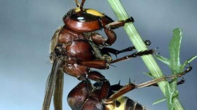 Lebah oriental mampu memproduksi listrik dari sinar matahari