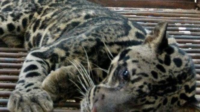 Macan Dahan Sumatera Spesies Tersendiri